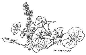 Vilda nyttoväxter-fjällsyra2-1